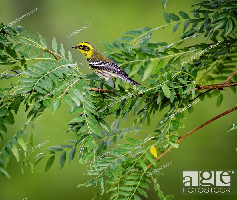 Stock Photo: Townsend's warbler (Setophaga townsendi) is a small songbird of the New World warbler family.
