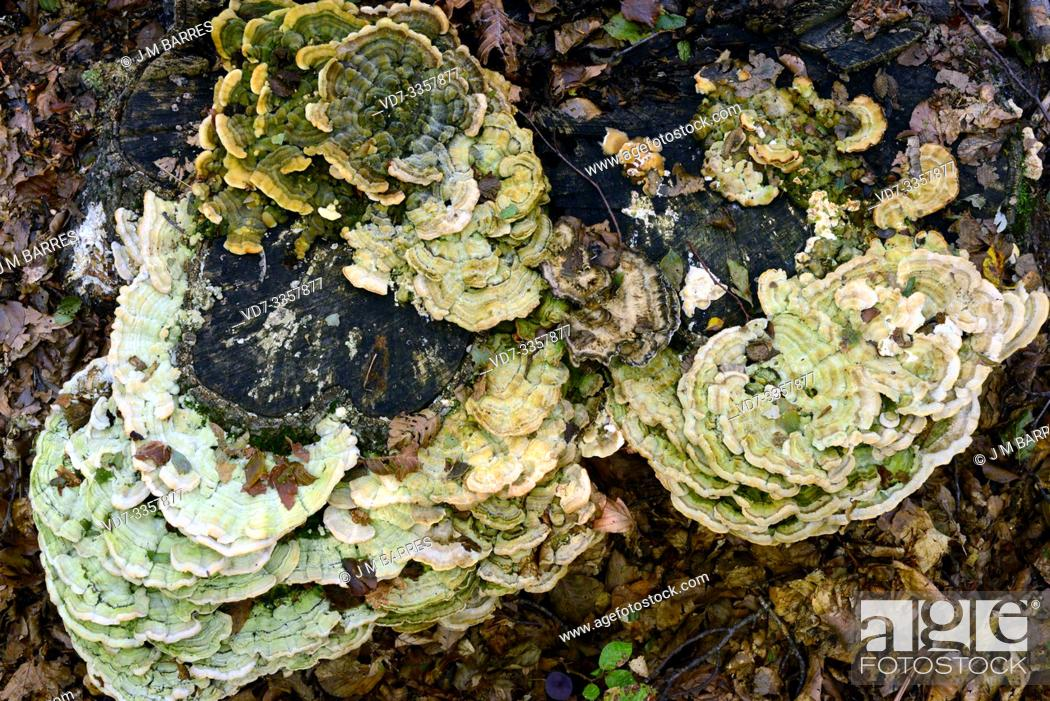 Stock Photo: Hairy bracket (Trametes hirsuta) is a parasite fungus that grows on beech trees. This photo was taken in Montseny Biosphere Reserve, Barcelona province.