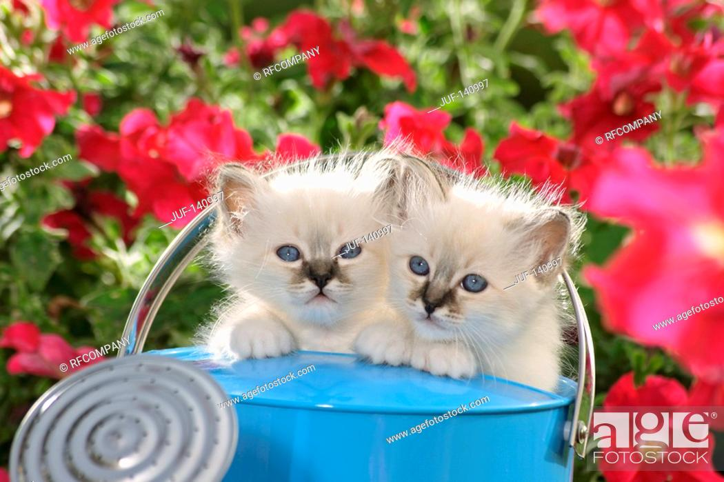 Stock Photo: Sacred cat of Burma - two kittens in watering can.