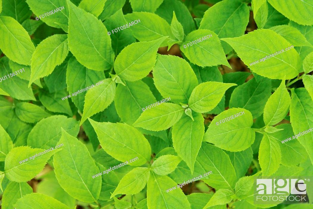 Stock Photo: Close-up on green leaves.