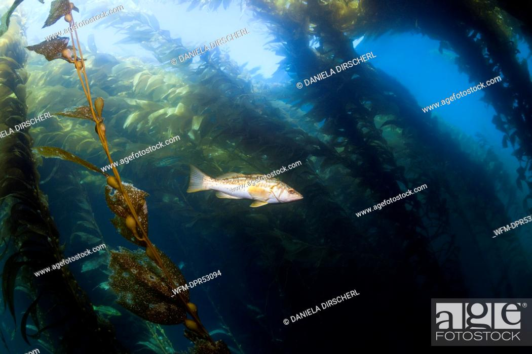 Stock Photo: Kelp Bass in Kelp Forest, Paralabrax clathratus, San Benito Island, Mexico.