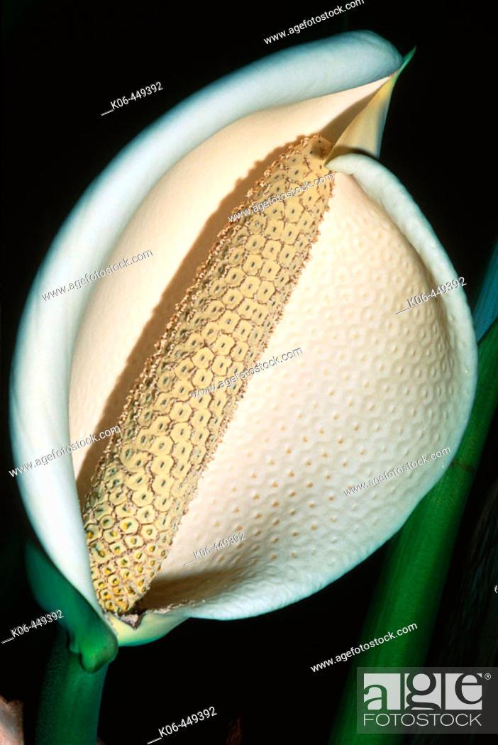 Stock Photo: Cheese plant flowering (Monstera deliciosa), fam. Araceae.