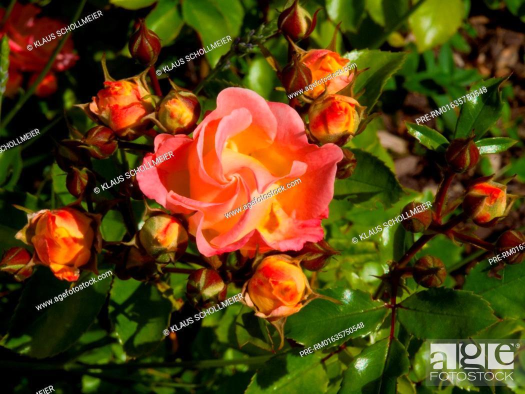 Stock Photo: Yellow-pink Rose / Gelbrosane Rose.