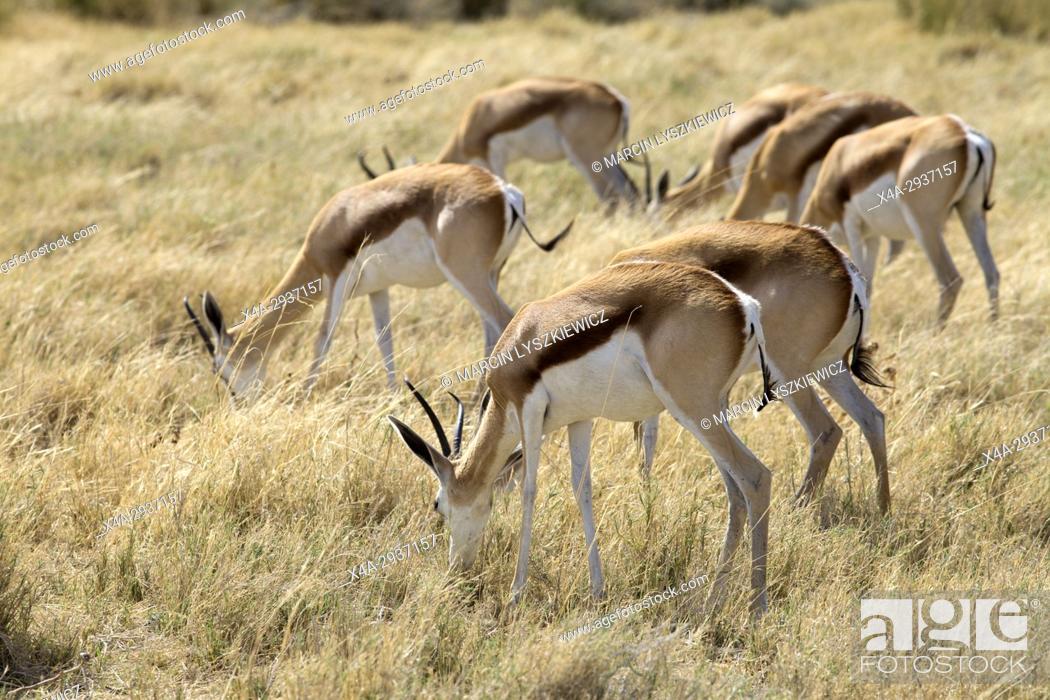 Stock Photo: Herd of grazing springboks (Antidorcas marsupialis), Etosha National Park, Namibia.