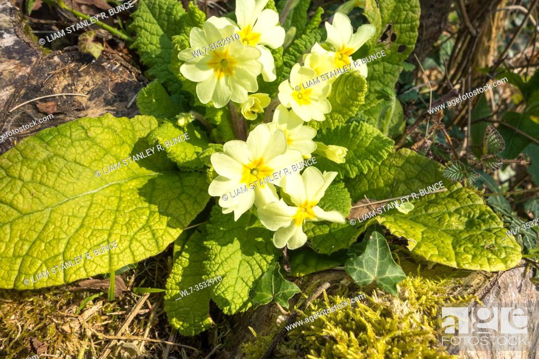 Stock Photo: Primrose (Primula vulgaris) growing on a nature reserve in the Herefordshire UK countryside. March 2020.