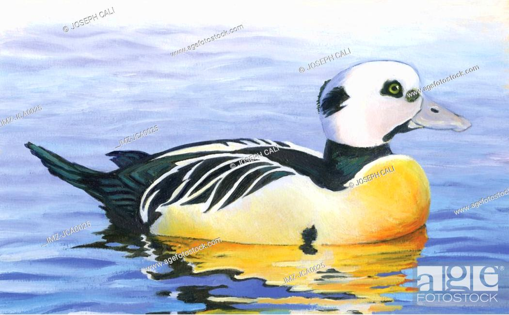 Stock Photo: An illustration of a stellers eider.