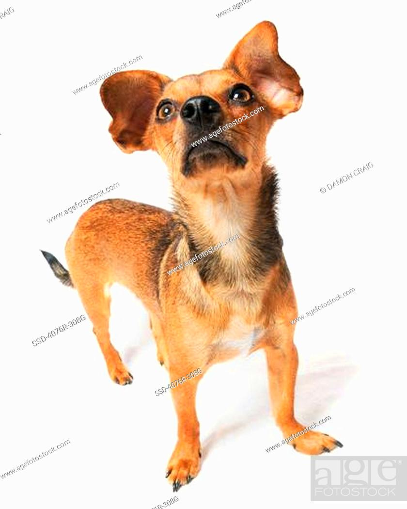 High Angle View Of A Chiweenie Dog Crossbreed Chihuahua And