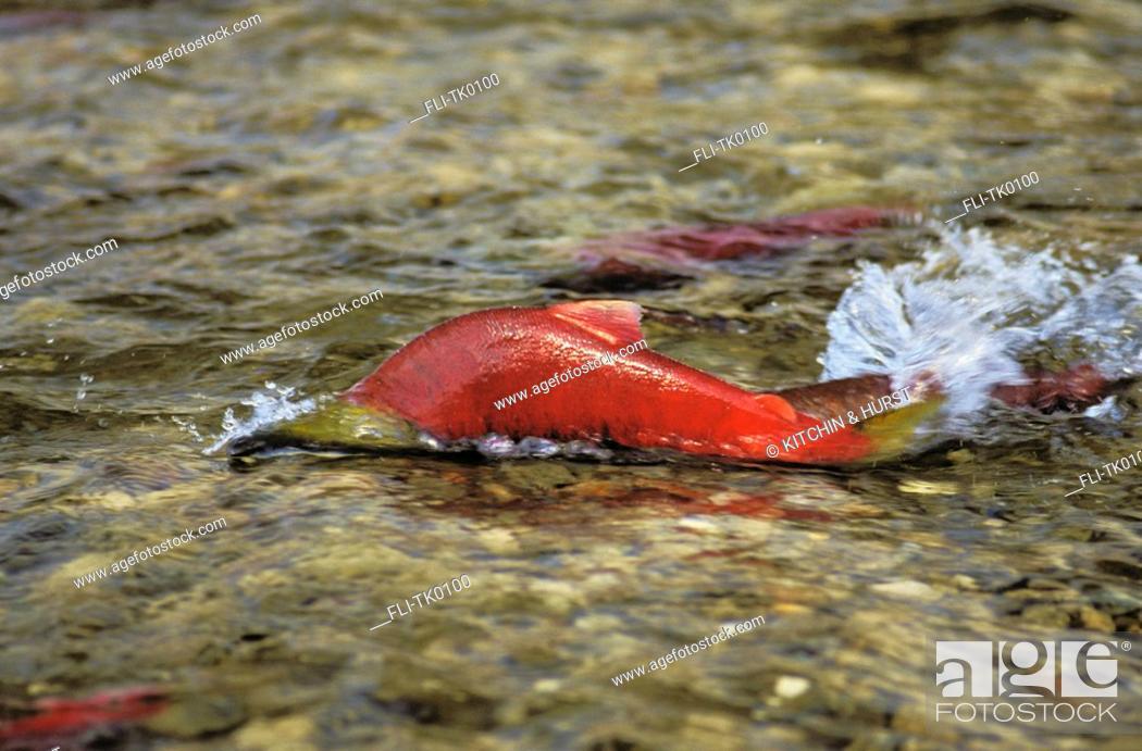 Stock Photo: Sockeye Salmon swimming upstream  Migration  Pacific Coast  Oncorhynchus nerka.