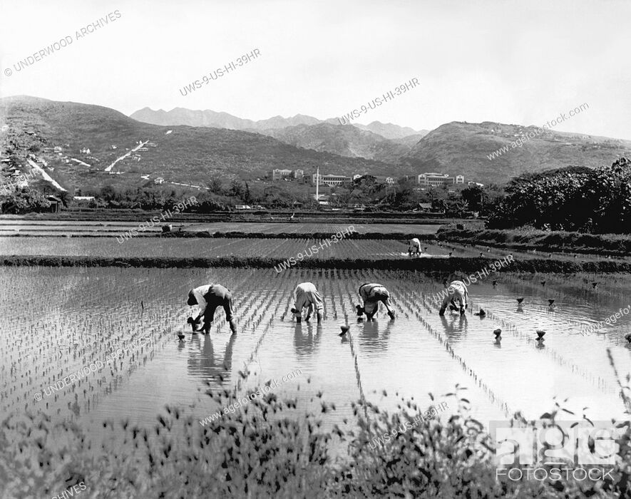 Stock Photo: Honolulu, Hawaii: c. 1933 The Chinese in Hawaii still plant rice exactly as their ancestors did hundreds of years ago.