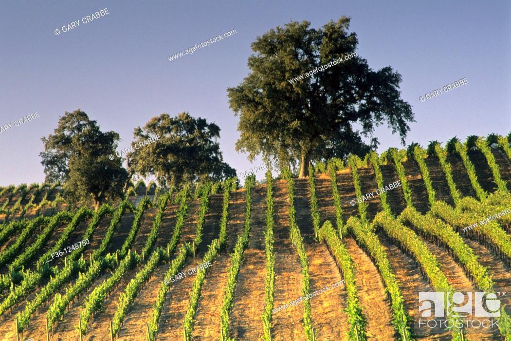 Stock Photo: Vineyards at Summerwood Winery, Paso Robles, San Luis Obispo County, California.