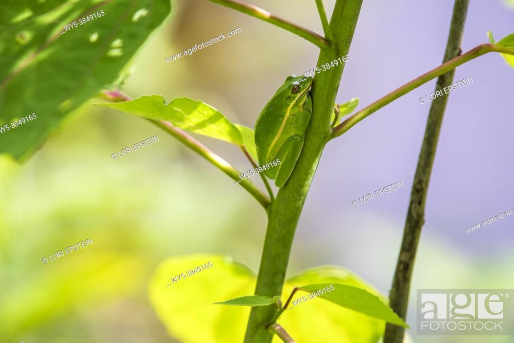 Imagen: Green Treefrog (Hyla cinerea).