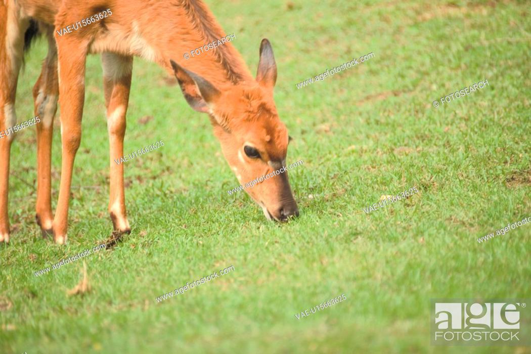 Stock Photo: land animal, deer, mammal, vertebrate, field, wild animal, animal.