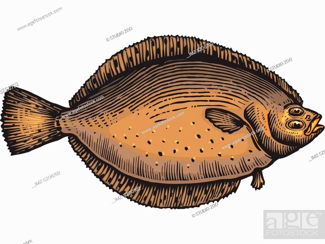 Stock Photo: A drawing of a flounder.