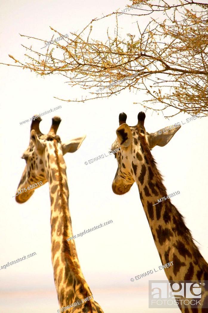 Stock Photo: Masai Giraffes. Lake Manyara National Park, Tanzania.