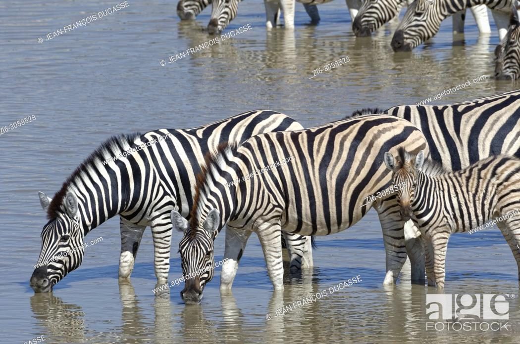 Stock Photo: Herd of Burchell's zebras (Equus quagga burchellii) with zebra foal, standing in water, drinking, Okaukuejo waterhole, Etosha National Park, Namibia, Africa.