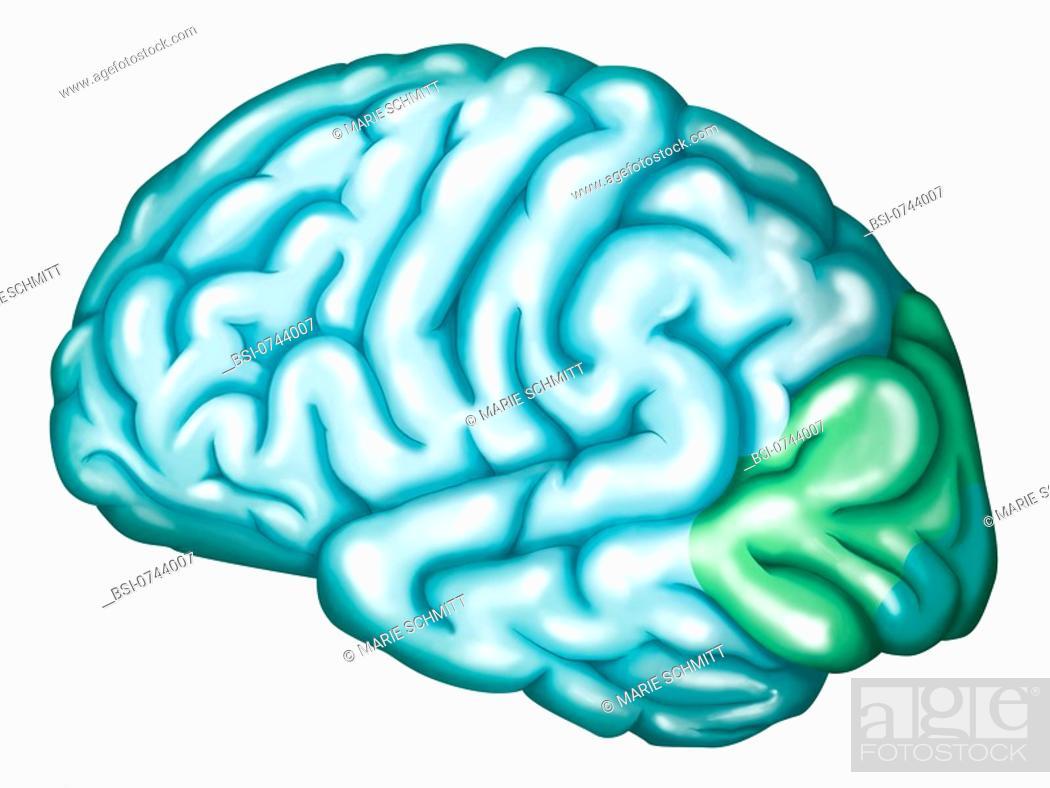 Occipital lobe : visual cortex  The occipital lobe