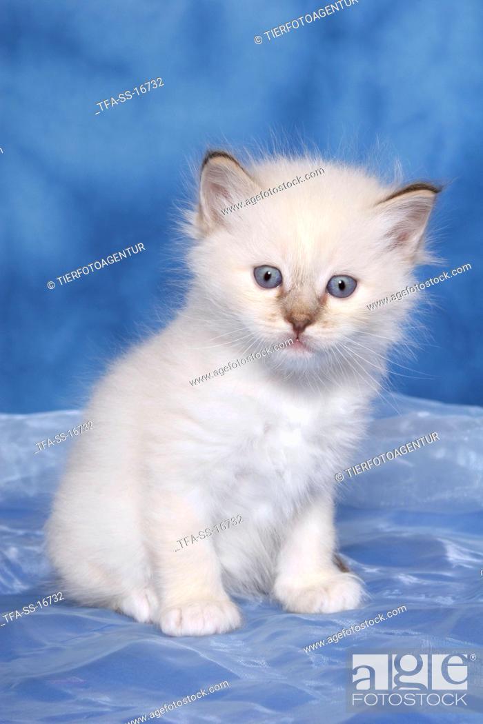 Stock Photo: sitting Sacred Birman Kitten.