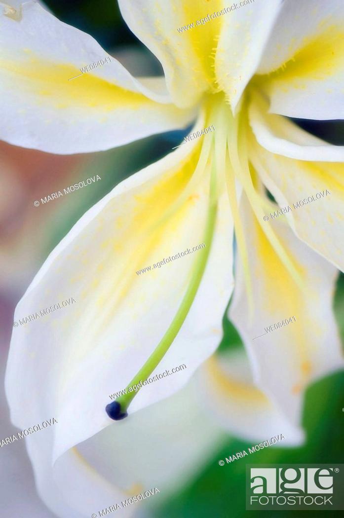 Stock Photo: White Oriental Lily Close-up. Lilium orientale.