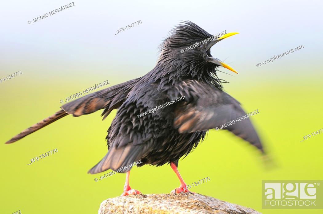 Stock Photo: Spotless Starling. Sturnus unicolor. Badajoz. Extremadura. Spain.