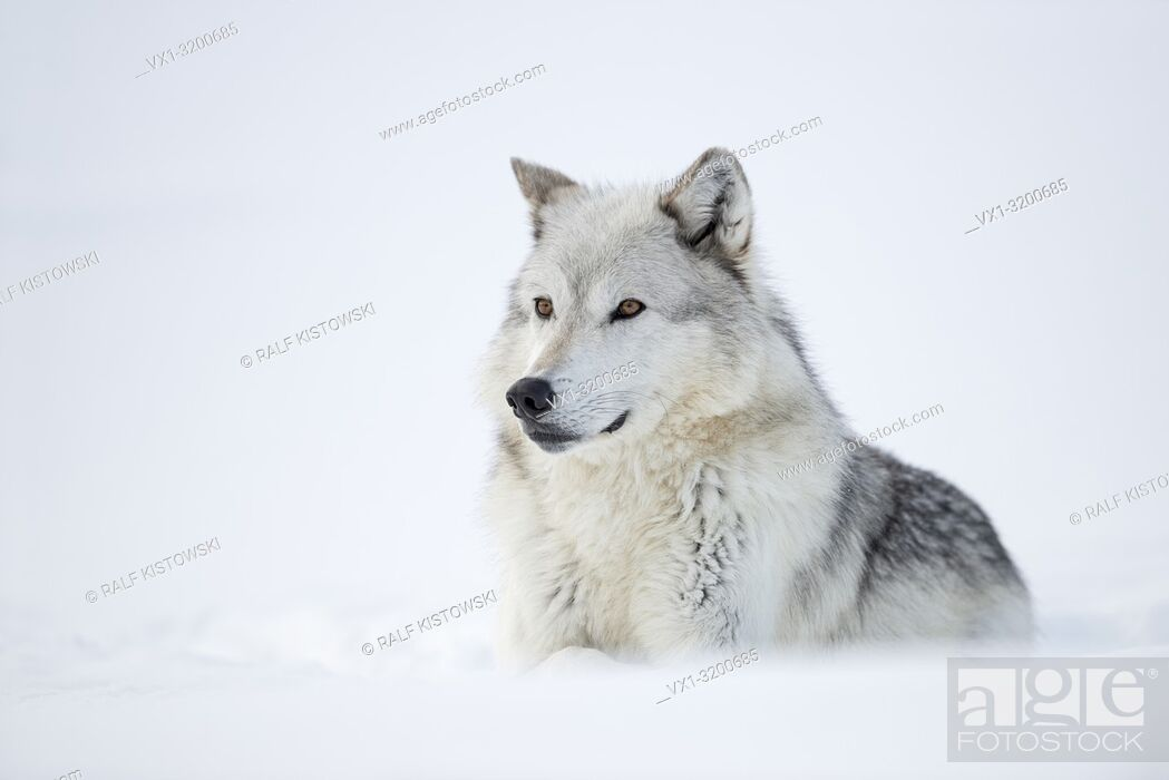 Stock Photo: Gray Wolf ( Canis lupus) lying in snow, attentively watching, nice winter fur, with beautiful amber coloured eyes, Yellowstone, USA.