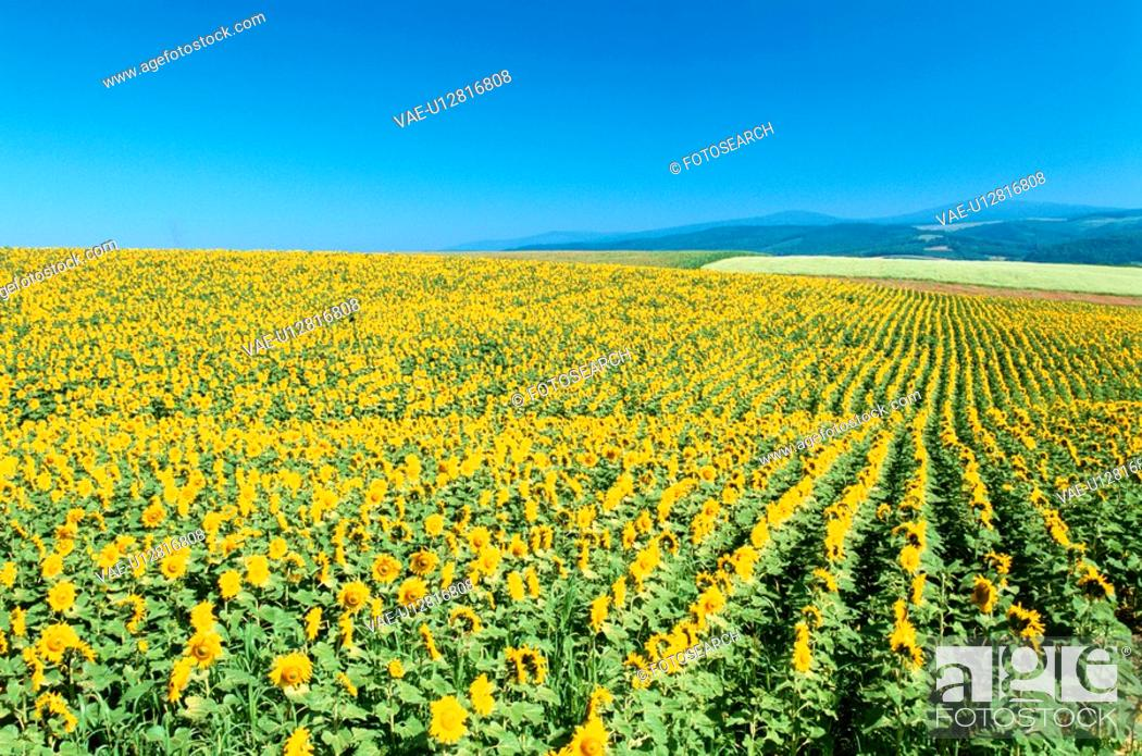 Stock Photo: Sunflower Fields On Hills.