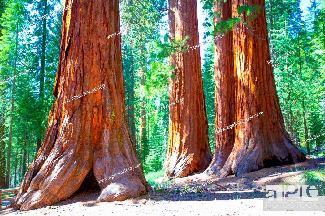 Imagen: Sequoias Bachelor and three Graces in Mariposa Grove at Yosemite National Park California.