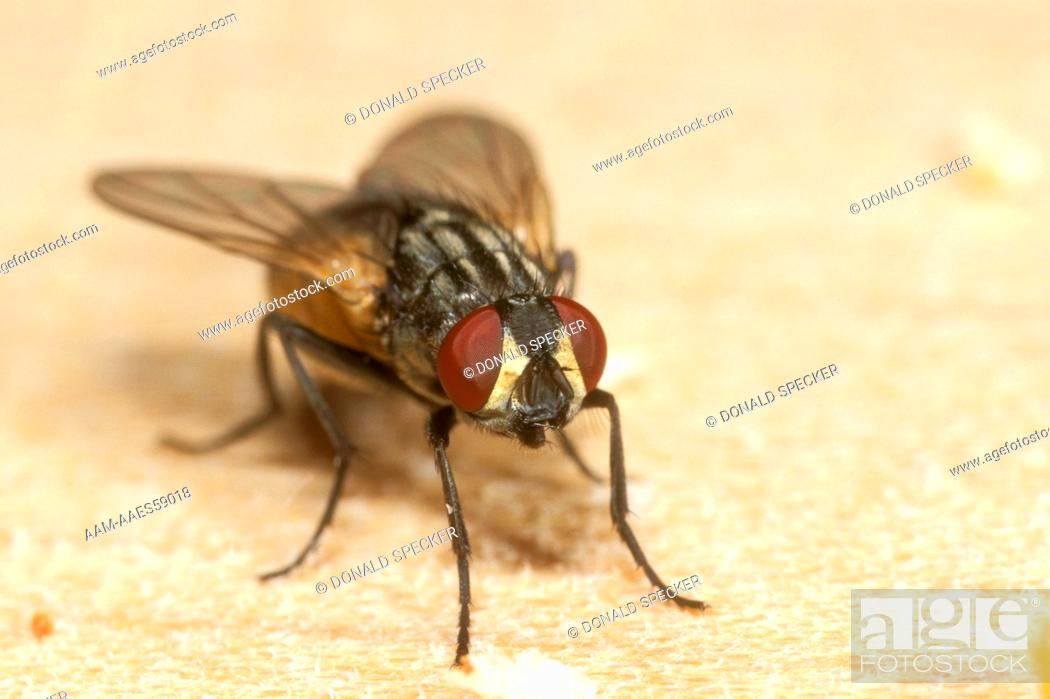 Housefly (musca domestica), Stock Photo, Picture And Rights Managed ...