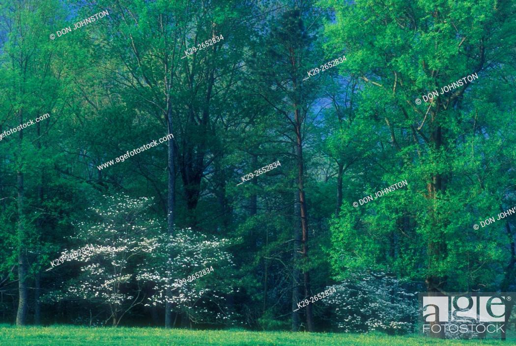 Stock Photo: Flowering dogwood in forest at edge of pasture in spring, Great Smoky Mountains National Park, Tennessee, USA.