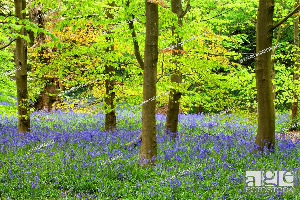 Stock Photo: Bluebells and Spring Foliage in Middleton Woods Ilkley West Yorkshire England.