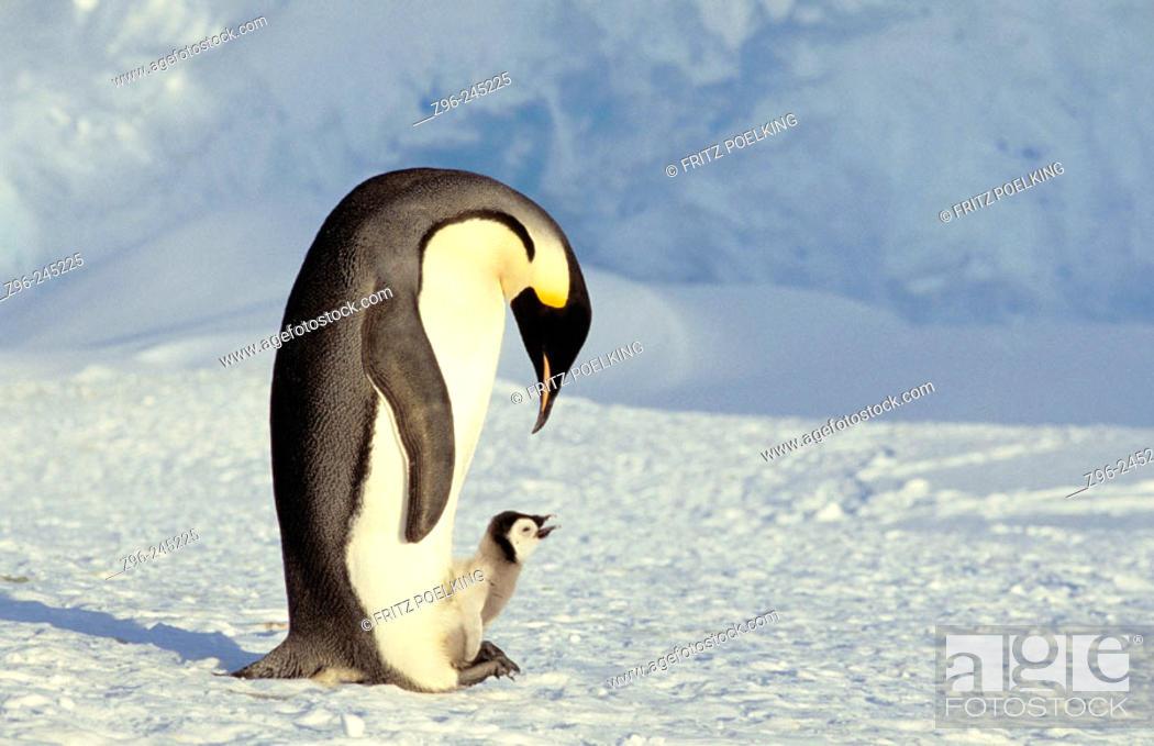Stock Photo: Emperor Penguin (Aptenodytes forsteri), adult and chick. Dawson-Lambton glacier, Antarctica.