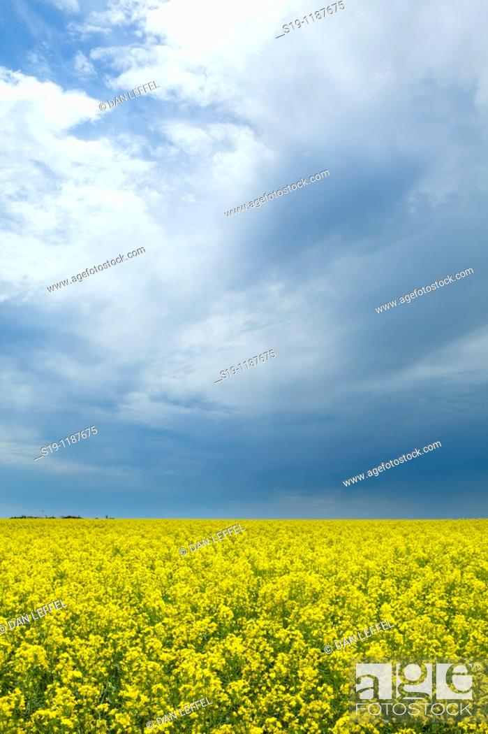Stock Photo: Canola flowers, North Dakota, USA.