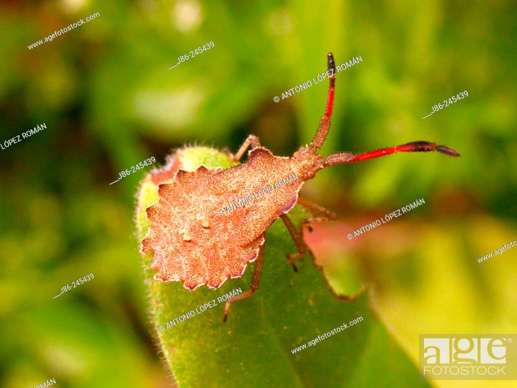 Stock Photo: Bedbug (Haploprocta sulcicornis).