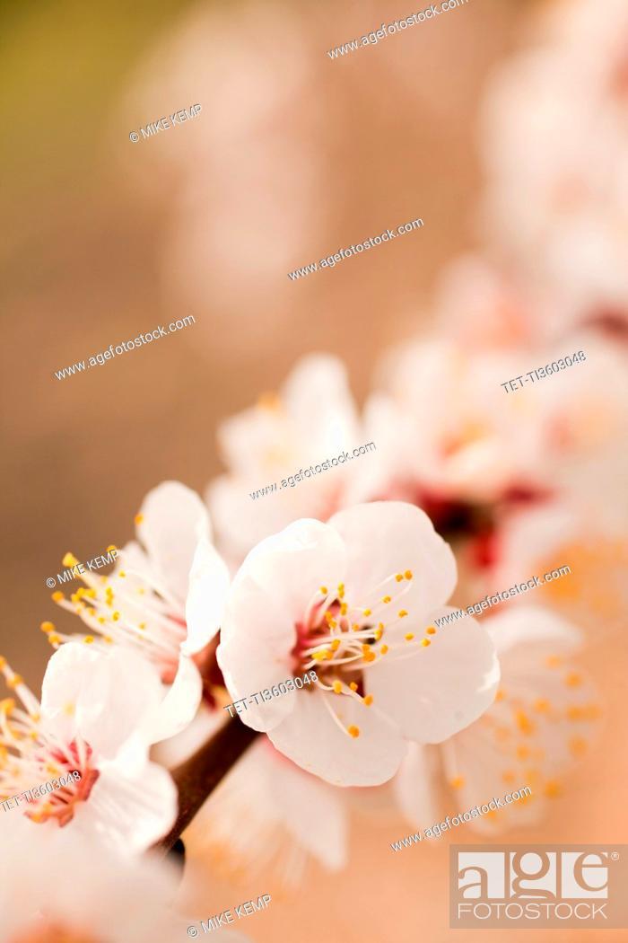Stock Photo: Close-up of cherry blossom.