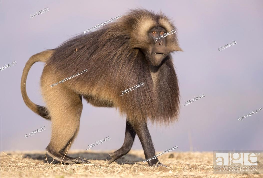 Stock Photo: Africa, Ethiopia, Rift Valley, Debre Libanos, Gelada or Gelada baboon (Theropithecus gelada), dominant male.alpha male.