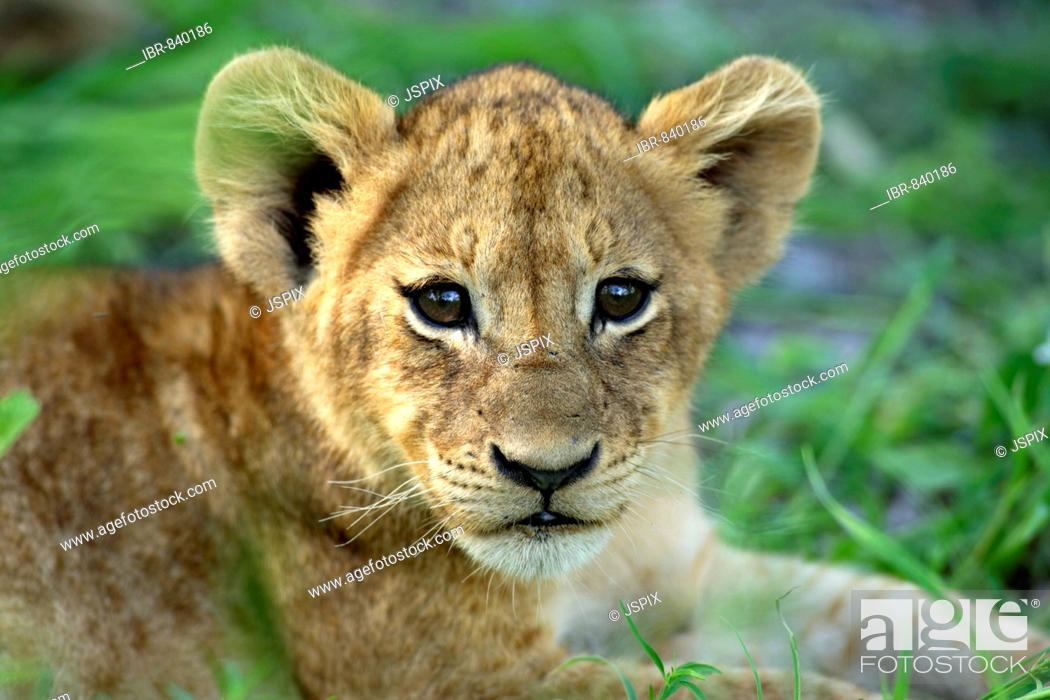 Stock Photo: Lion (Panther leo), cub, portrait, Sabi Sand Game Reserve, South Africa.