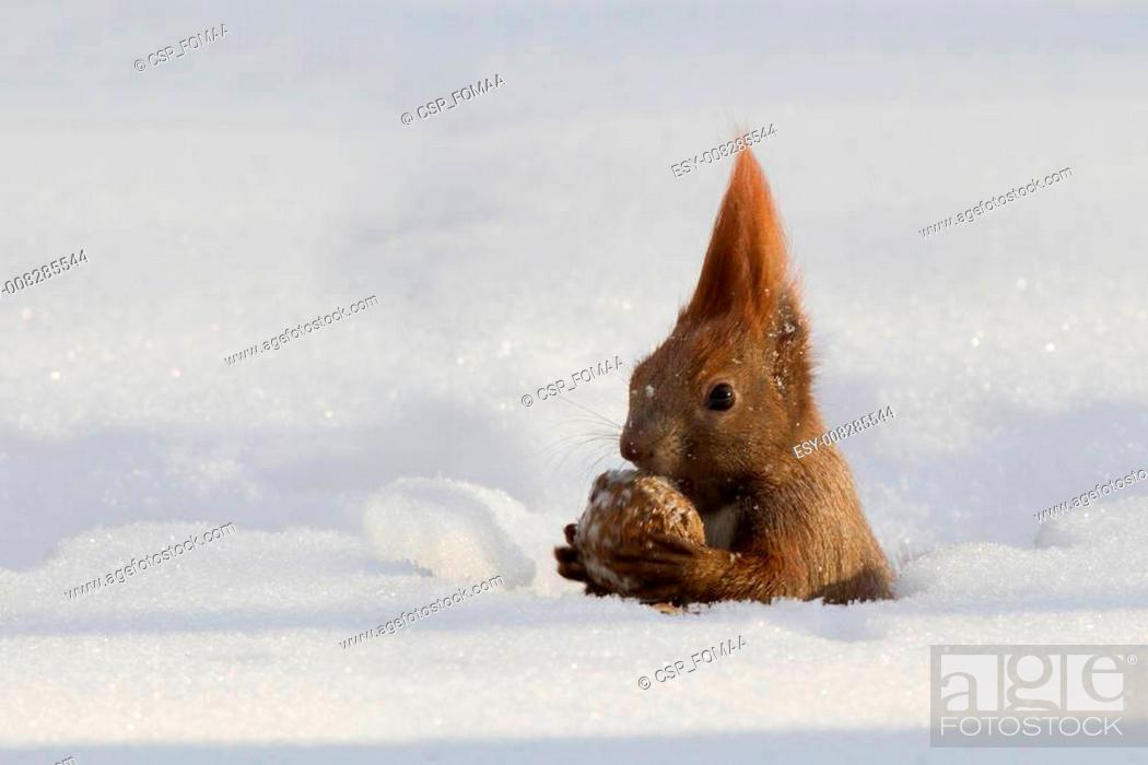 Stock Photo: Red squirrel in the winter.