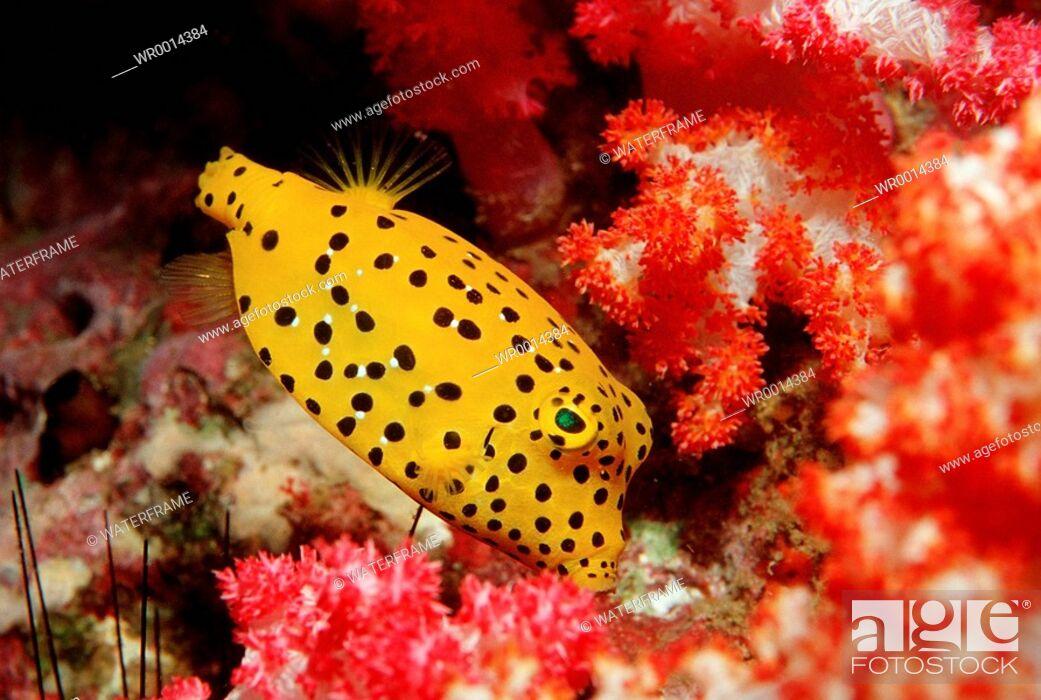 Stock Photo: Cube Trunkfish, Ostracion cubicus, Similan Islands, Thailand.