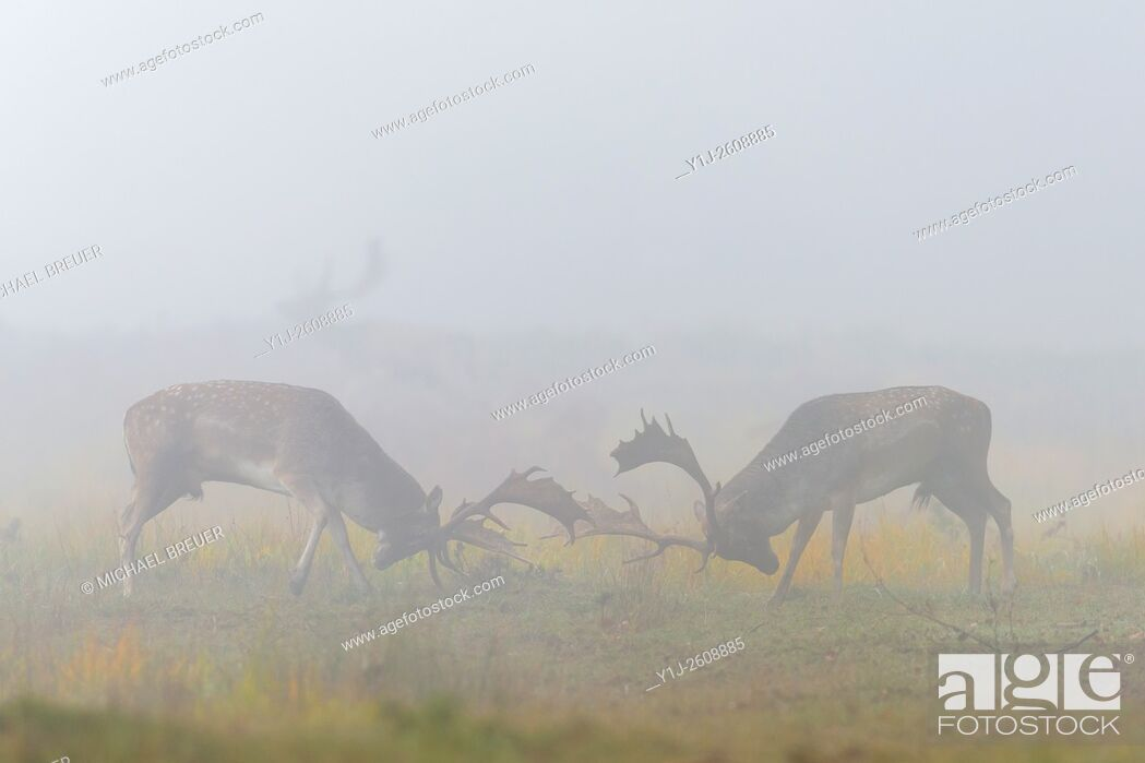 Stock Photo: Fighting Fallow Deers (Cervus dama) at Rutting Season, Hesse, Germany, Europe.
