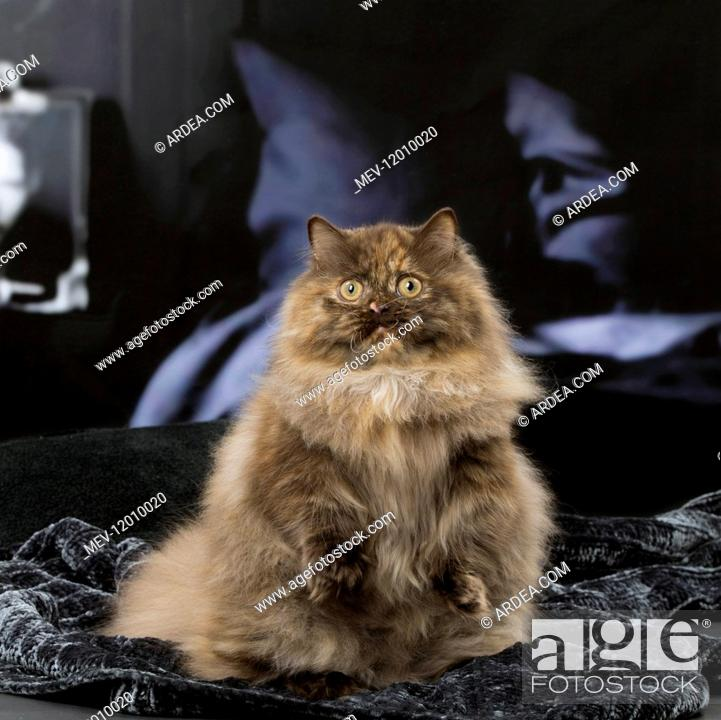 c80271f36e Stock Photo - Minuet cat indoors