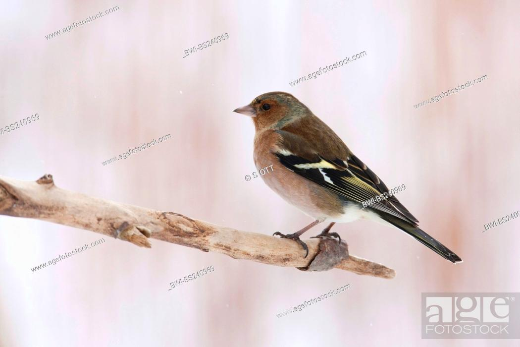 Stock Photo: chaffinch Fringilla coelebs, sitting at the edge of adead branch, Germany.