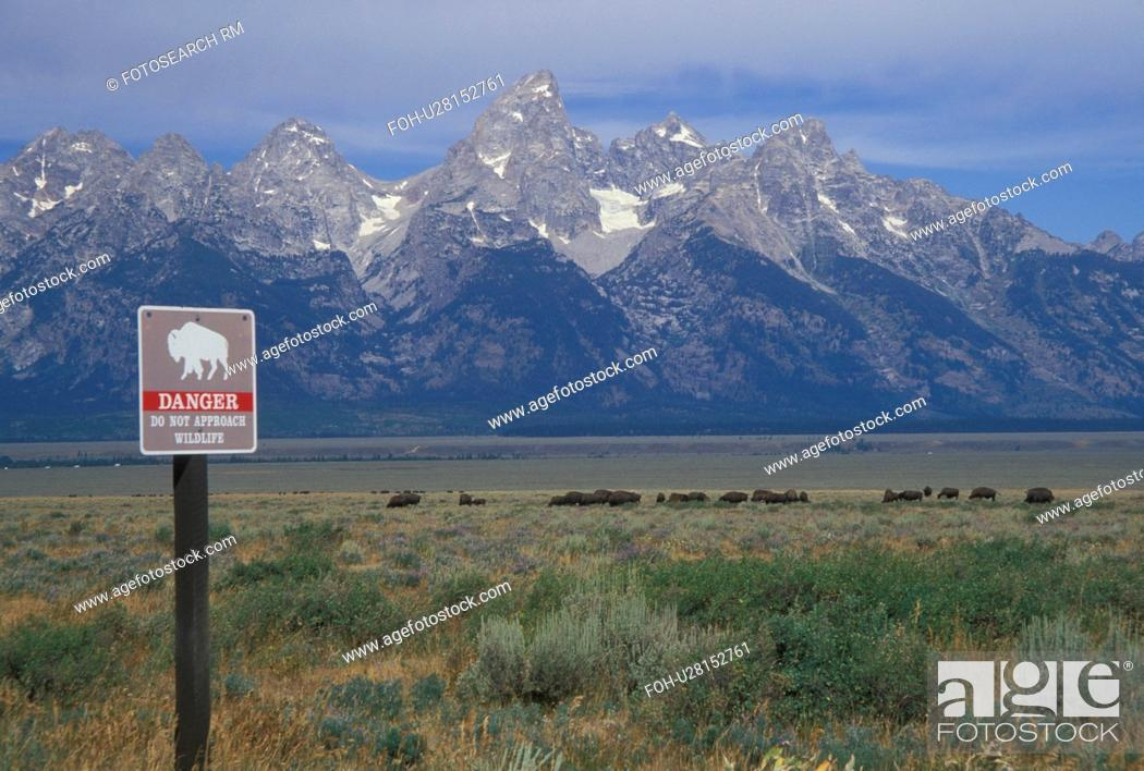 Stock Photo: Grand Teton National Park, Jackson Hole, WY, Wyoming, bison (buffalo) herd.