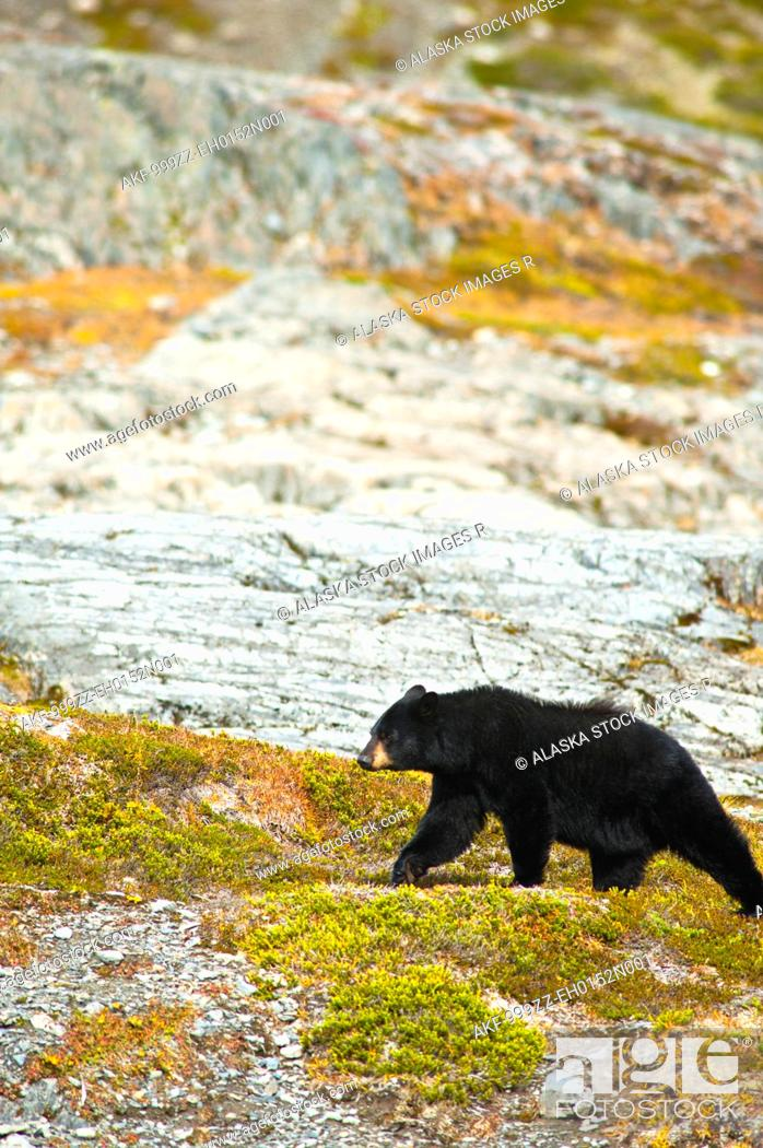 Stock Photo: A Black Bear foraging for berries on the tundra near the Harding Icefield Trail at Exit Glacier, Kenai Fjords National Park, Autumn.