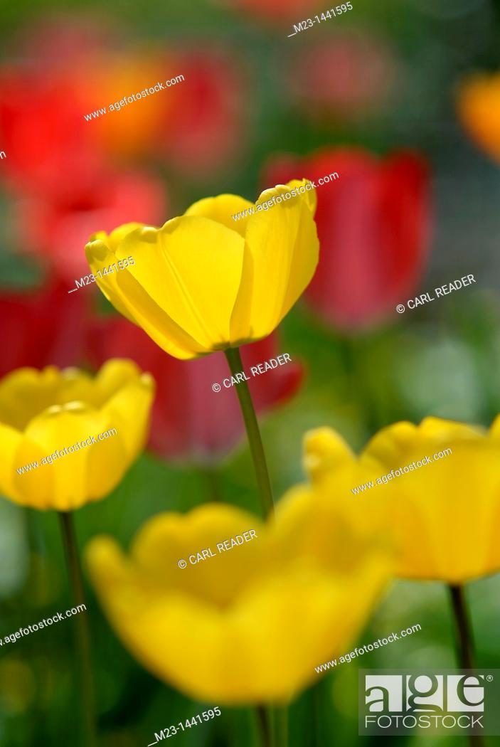 Imagen: A yellow tulip grows above the others like a cup of sunshine, Pennsylvania, USA.