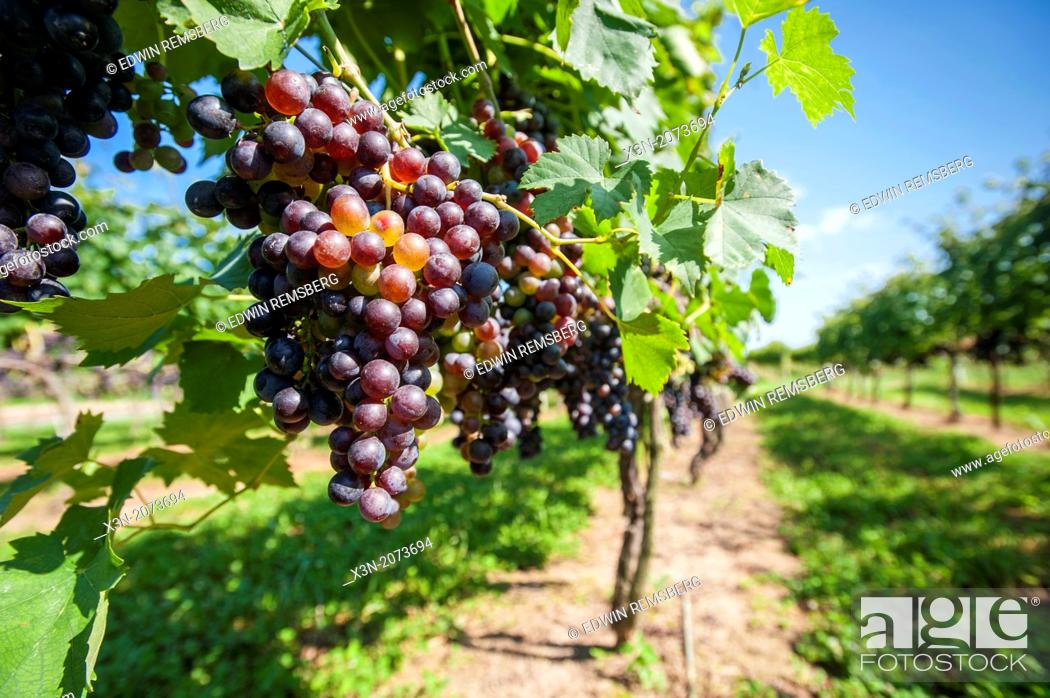 Stock Photo: Red grapes hanging in vineyard. Sudlersville Maryland USA.