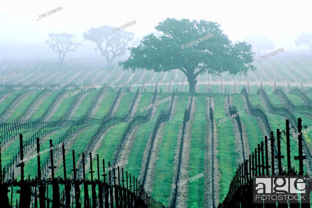 Stock Photo: Morning fog over vineyard rows and oak tree in spring, Union Road, Paso Robles San Luis Obispo County, California.