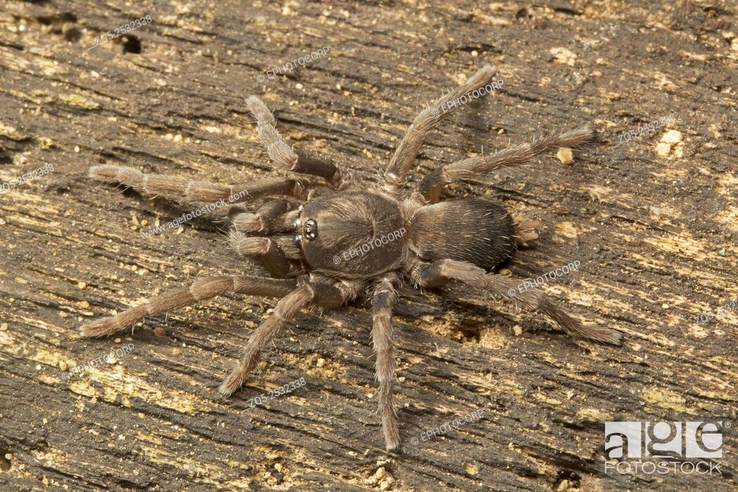 Imagen: Spider, Theraphosidae, Manu, Tripura, India.