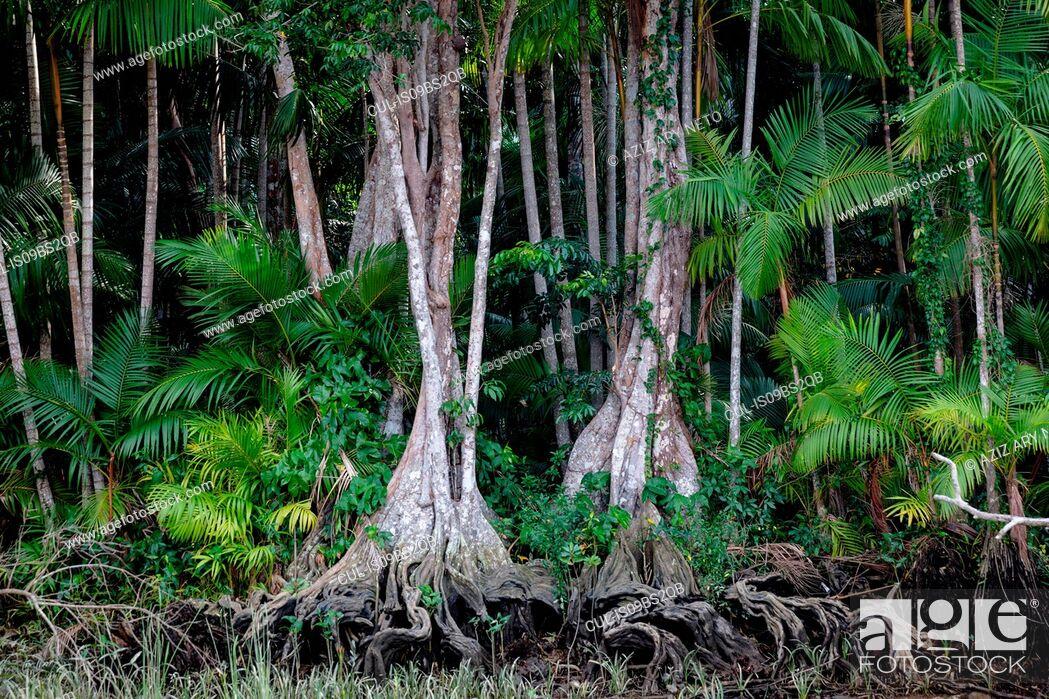 Stock Photo: Euterpe oleracea (açai), Igarapé, Amazon, Belem do Pará, Para, Brazil.