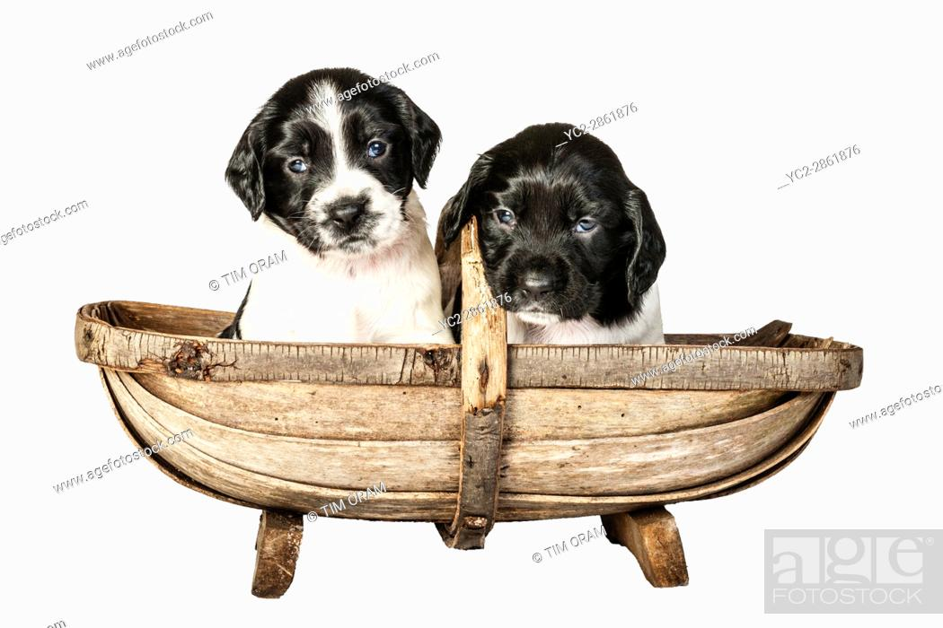 Stock Photo: Two 4 week old black and white English Springer Spaniel puppys in a trug.