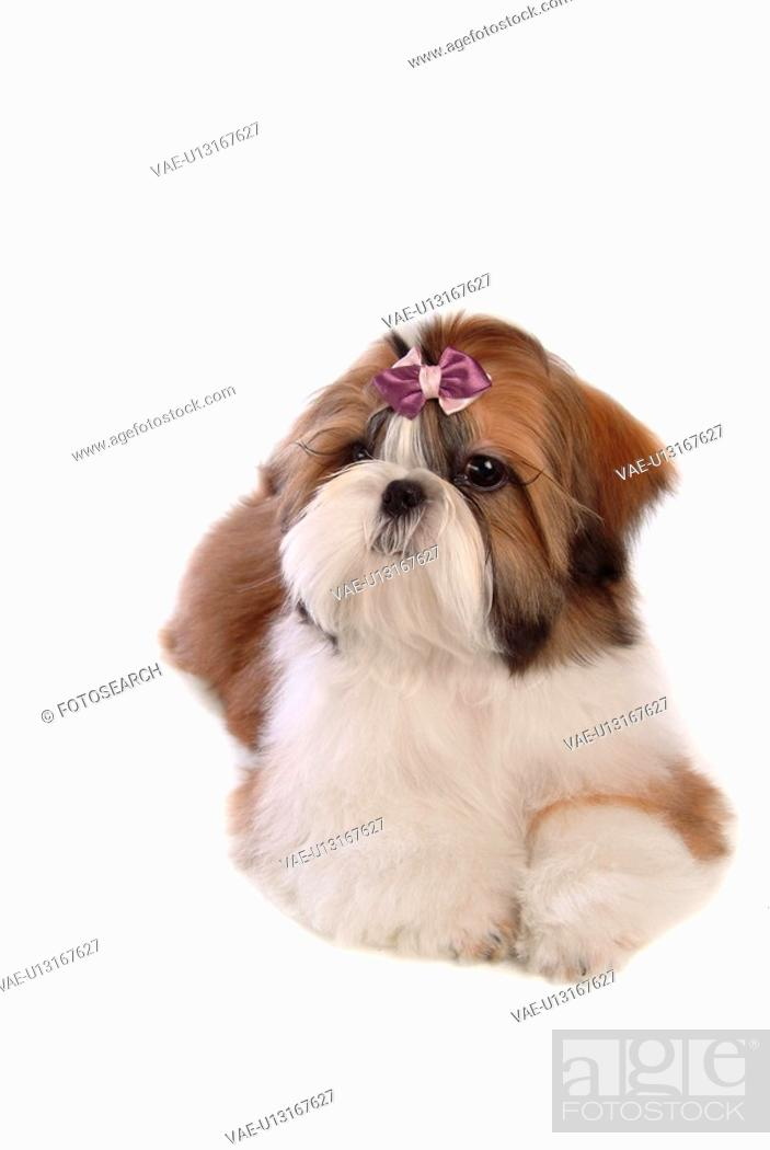 Stock Photo: posed, domestic, pose, house pet, canines, shih tzu.