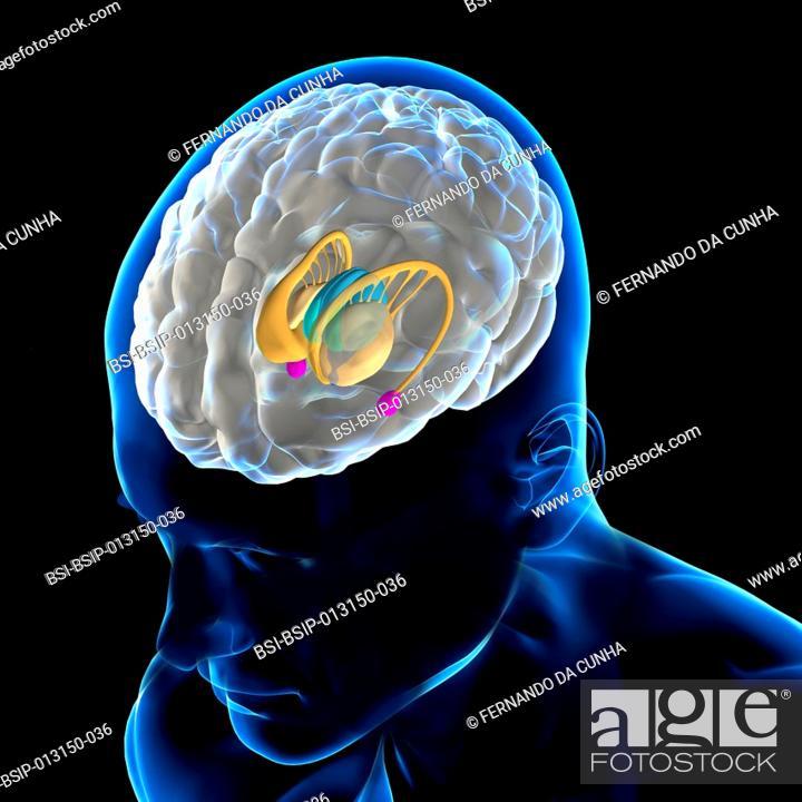 Anatomy Of The Brain The Caudate Nucleus Putamen And Globus